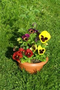 ABlog515a - kvetinac macesky